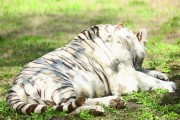 Tiger from Chennai zoo shifted to Udaipur will be 'taught' Mewari commands