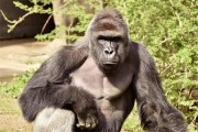 Gorilla killed by Cincinnati Zoo keepers to save boy sparks outrage