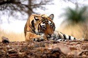 'Collar Wali' cynosure of all eyes in Pench Tiger Reserve