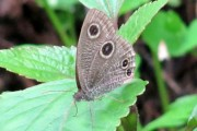 Three new varieties of butterflies found in Uttarakhand