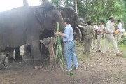 Now, body massage and pedicure for elephants at Kanha National Park