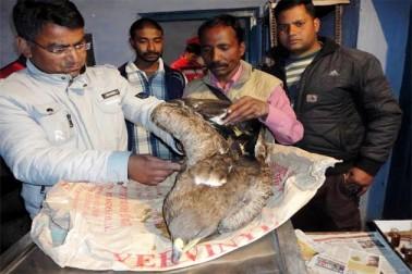 Rare species hawk found in injured state, kept under medical observation
